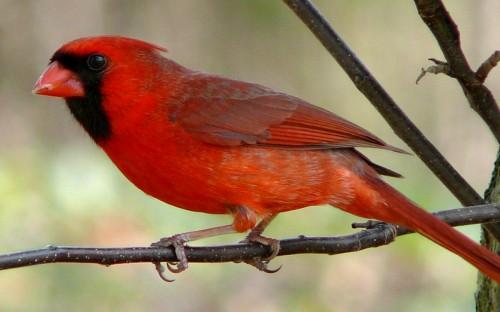 cardenal norteno