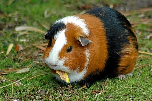 cerdo guineano