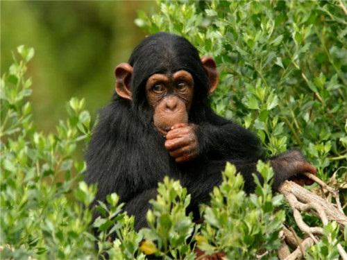 chimpance triste