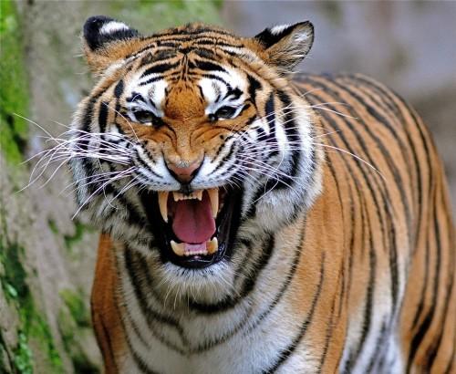 tigre rugiendo