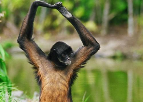 mono araña