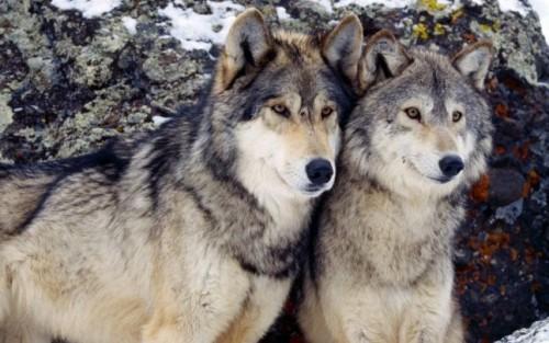 lobos nieve