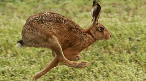 liebre corriendo