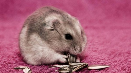 hamster pipas